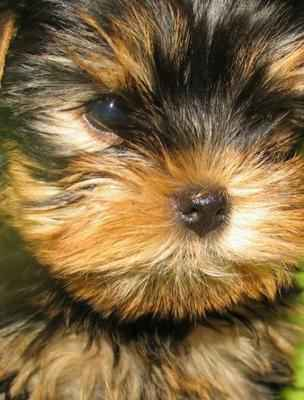 Саратов: продаются клубные щенки йоркширского терьера - объявление n 21072149