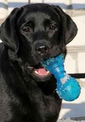 Продам щенка лабрадора в городе ногинск, фото 1, собаки